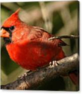 Cardinal Up Close Canvas Print