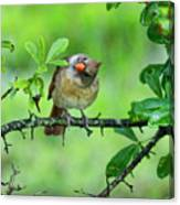 Cardinal Ways Canvas Print
