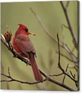 Cardinal With Seed Canvas Print