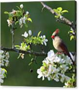 Cardinals In Spring Canvas Print