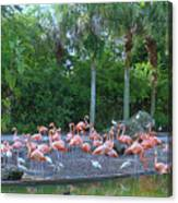 Caribbean Flamingos Canvas Print