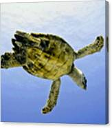 Caribbean Sea Turtle Canvas Print