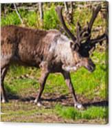 Caribou Antlers In Velvet Canvas Print