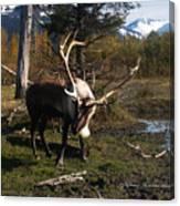 Caribou in Autumn Canvas Print