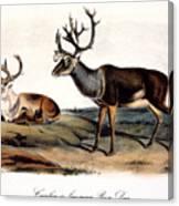 Caribou (rangifer Caribou): Canvas Print