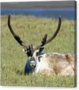 Caribou Resting In Tundra Grass Canvas Print