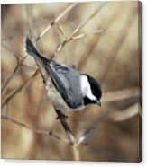 Carolina Chickadee - Birds At Bisset Park Canvas Print