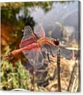 Carolina Saddlebag Dragonfly Canvas Print