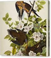 Carolina Turtledove Canvas Print