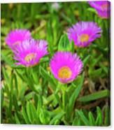 Carpobrotus Edulis Pink Ice Plant Canvas Print