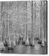 Carvers Cypress Ir Canvas Print