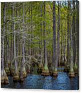 Carvers Cypress Canvas Print