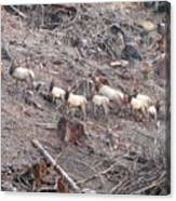 Cascade Elk Canvas Print