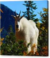 Cascade Range Mountain Goat Canvas Print