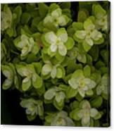 Cascading White Blossoms 2 Canvas Print