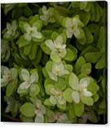 Cascading White Blossoms 3 Canvas Print
