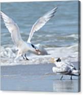 Caspian Tern Feeding Young Canvas Print