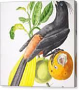 Cassique Huppe Canvas Print