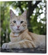 Cat Volterra Italy Canvas Print