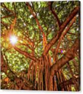 Catch A Sunbeam Under The Banyan Tree Canvas Print
