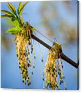 Catkin Time 2 Canvas Print