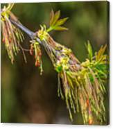 Catkin Time 5 Canvas Print