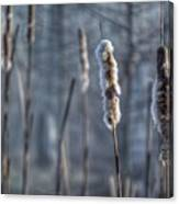 Cattails In The Winter Canvas Print