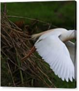 Cattle Egret Begins Flight With Nest Materials - Digitalart Canvas Print