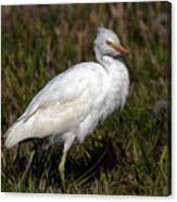 Cattle Egret  Canvas Print