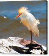Cattle Egret In Breeding Plumage Canvas Print