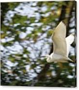 Cattle Egret In Flight Canvas Print