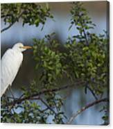 Cattle Egret In The Morning Light Canvas Print