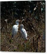 Cattle Egrets In A Pasture Canvas Print