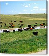 Cattle Graze On Reclaimed Land Canvas Print