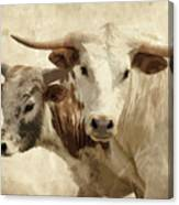 Cattle Steers Canvas Print