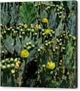 Catus Blossoms Canvas Print