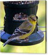 Caught At The Feeder Canvas Print