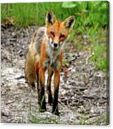 Cautious But Curious Red Fox Portrait Canvas Print