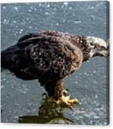 Cautious Eagle Canvas Print