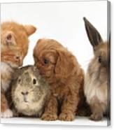 Cavapoo Pup, Rabbit, Guinea Pig Canvas Print