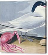 Cayenne Tern Canvas Print