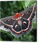 Cecropia Moth  Canvas Print