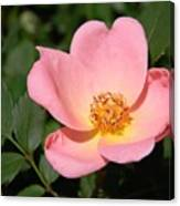 Cedar Key Rosa Canina Canvas Print