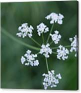 Cedar Park Texas Hedge Parsley Canvas Print