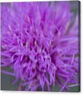 Cedar Park Texas Purple Thistle Canvas Print