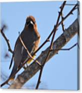 Cedar Wax Wing On The Lookout Canvas Print