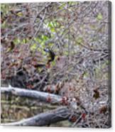 Cedar Waxwings Feeding Canvas Print