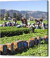 Celery Harvest Canvas Print