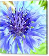 Centaurea Cyanus 1 Canvas Print