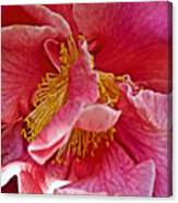 Center Of A Pink Camellia At Pilgrim Place In Claremont-california  Canvas Print